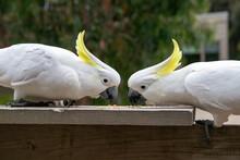 Pair Of Cockatoos Eating Bird Seed