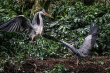 Amazing Animals In The Wild. Gorgeous Crane Birds Fight For Their Prey Near River In Woodland. Flap Their Wings Open Beak And Hop.