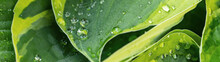 Closeup Of Fresh Green Yellow Plantain Lilies Hosta Asparagaceae, With Dew Water Drop In The Morning - Plant Leaf Background Banner Panorama