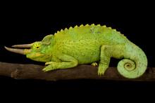 Yellow-crested Jackson's Chameleon (Trioceros Jacksonii Xantholophus)