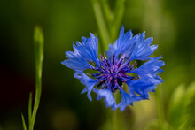 Close Up Of Blue Cornflower Outside With A Green Background