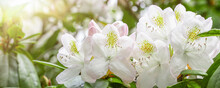 White Rhododendron Flowers In Summer