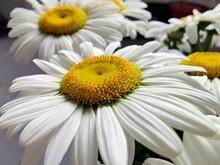 Daisy Flowers In The Vase - Bellis Perennis, Leucanthemum Vulgare - Ox-eye Daisy, Oxeye Daisy, Dog Daisy