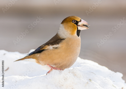 Obraz na plátne grosbeak, hawfinch