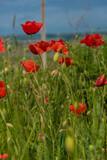 Fototapeta Kwiaty - red poppies in a field among green grass