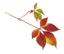 Colorful Autumn Leaves Of Wild Grape Isolated
