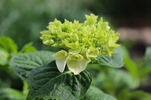 Hydrangea Large-leaved Bright Blooming In Summer