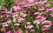 Saxifraga Pink Flower In The Garden