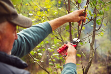 Man Pruning Tree Branch With Secateurs In The Orchard