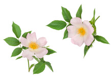 Branch Of Briar With Flower Isolated On White, Top View