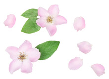 Wild Rose Flowers Isolated On White Background, Top View