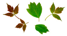 Maple And Viburnum Leaves Isolated On A White Background, Top View