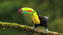 Tropical Toucan Bird Sitting On A Branch Of A Tree. Closeup Image Of Keel-billed Toucan, Ramphastos Sulfuratus.