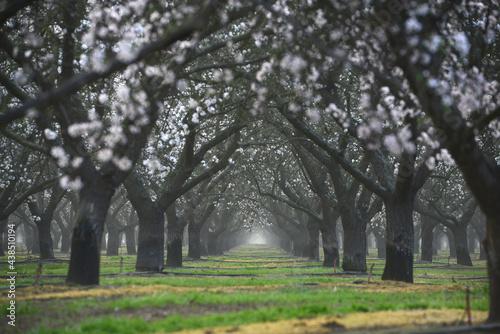 almond farm flower Fotobehang