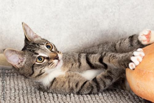 Obraz na plátně A striped mongrel kitten plays with an orange pillow.