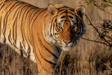 Tiger,  Close Up Portrait In Warm Evening Light, Grassy Plain As The Background