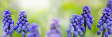 Muscari Flowers ( Bluebells) On Green Background. Panoramic Meadow Landscape With Blossoming Plants And Sun Glare.
