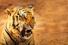 Siberian Tiger Roaring With Copy Space