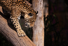 Jaguar (Panthera Onca) Down A Tree Trunk On Blurred Dark Background. Selective Focus.
