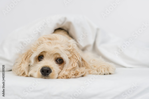 Canvas Print Sad American Cocker spaniel puppy lying  under white warm blanket on a bed at ho