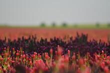 Field With Red Clover, Trifolium Incarnatum,