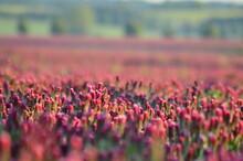 A Field Of Crimson Clover, Trifolium Incarnatum, Blooms Bright Red