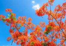 Red Royal Poinciana Flowers Bloom In Summer Sun And Blue Sky Background