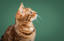 Ginger Bengal Cat With Green Eyes Isolated On Green Background