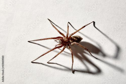 Fotografie, Obraz Predatory spider isolated on white background