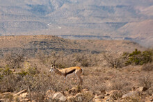 Sprngbok In The Karoo, South Africa