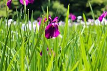 花 菖蒲 しょうぶ 紫 5月 6月 アヤメ 美しい きれい 落ち着いた 鮮やか 晴れ 森林 梅雨 おとなしい
