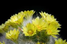 Yellow Flower Of Mammillaria Cactus Blooming Against Dark Background