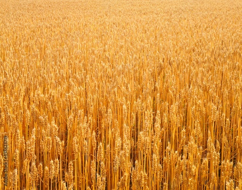 Foto close-up, cornfield, wheat,