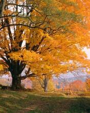 Maple Tree, Autumn, Discolouration,