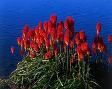 Tritome, Tritoma Uvaria, Flowers, Coast, Plant, Plants, Vegetation, Botany, Liliaceae, Kniphofia Uvaria, Inflorescence, Flowering, Red, Water, Waters, Nature,