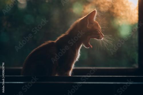 Obraz na plátně Gato amarillo bostezando en la ventana , en el atardecer, gato a contraluz cálid