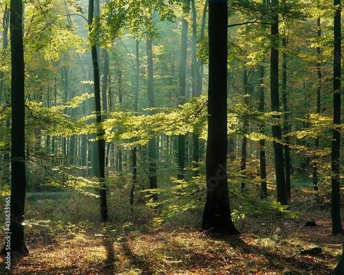 Fotografie, Obraz beech forest, spring, forest, trees, beech, detail, leaves, green, clearing, lig