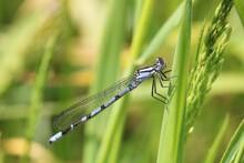 An Immature Jouvenile Male Common Blue Damselfly. Scientific Name Enallagma Cyathigerum