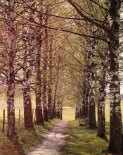 Path, Avenue, Birch Trees,