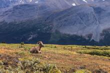 A Resting Mountain Goats In Canadian Rockies. Photo Taken In Icefields Parkway