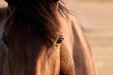 Brown Chestnut Horse Head Close-up