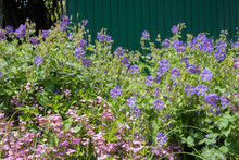 Pink Saponaria And Purple Cranesbill Flowers In The Garden