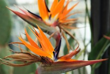 Strelitzia, Bird Of Paradise Flowe, Orange Flower - ストレチア オレンジ色の花