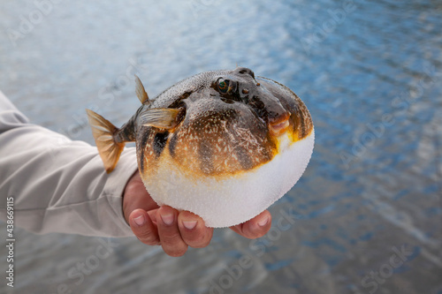 Fishing guide holds up an inflated smooth puffer caught on the gulf coast of Florida #438669115