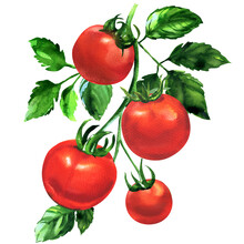 Branch Of Fresh Tomato With Leaves, Ripe Red Organic Vegetable, Close-up, Vegetarian Food, Natural Ingredient, Package Design Element, Isolated, Hand Drawn Watercolor Illustration On White Background