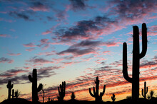 Silhouettes Of Different Cacti At Sunset With Beautiful Clouds In The Desert.
