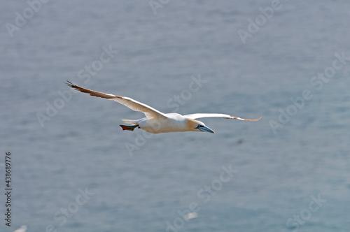Northern Gannet in Flight #438689776