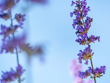 Catmint, Nepeta Faassenii, Purple Flowering Garden Plant