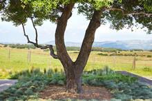 Olive Tree Near Vineyards
