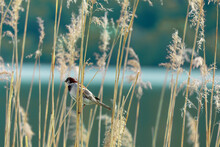 A Little Bird Perching On A Slim Brown Grass Next To The Lake